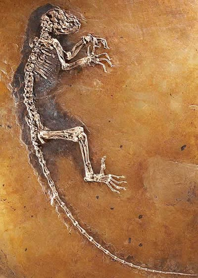 Darwinius masillae o IDA