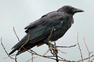 h_9_ill_911155_oiseau-virus